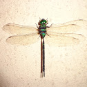 Black-kneed Duskhawker