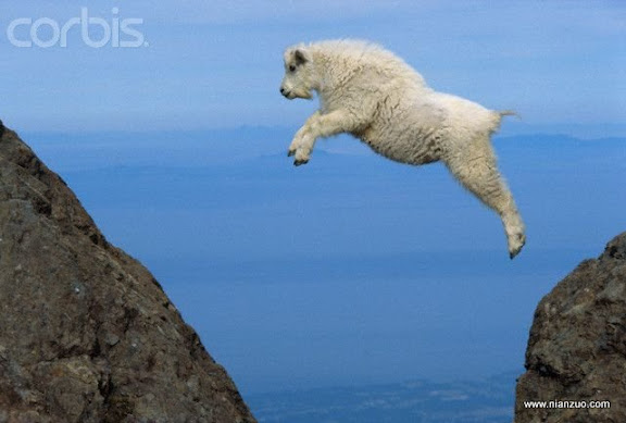 動物的快樂生活 ca. 1960-1990, Olympic National Park, Washington, USA --- A young Rocky Mountain goat springs high in the air as it leaps from rock to rock in Olympic National Park. --- Image by ?W. Wayne Lockwood, M.D./CORBIS,Animals,Confidence,Copy space,Goat,Jumping,Mammal,Motion,Mountain goat,Natural world,Nobody,North America,Olympic National Park,One animal,Pacific Northwest,Profile,Risk,USA,Washington State,Wildlife,Young animal