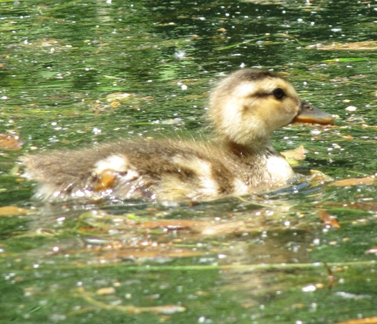 Toronto Island baby duck