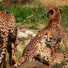 On The Rocks by Susan McDavit - Animals Lions, Tigers & Big Cats ( wild, animals, cheetahs, tanzania, africa )