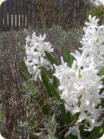Hyacint i lavendelhav