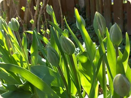 Tulipaner på spring