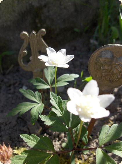 Mormors anemoner