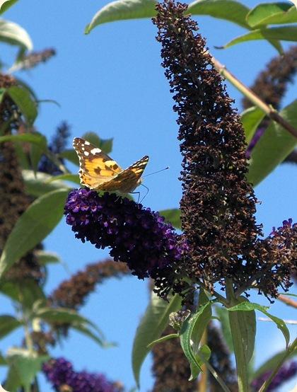 Skøn, skøn sommerfuglebusk