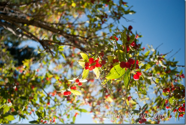 Red Berry Tree 1