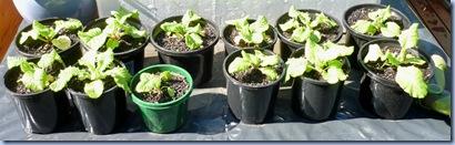 april 11th polyanthus