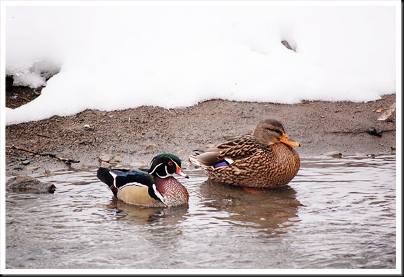 Wood Ducka nd Mallard 2