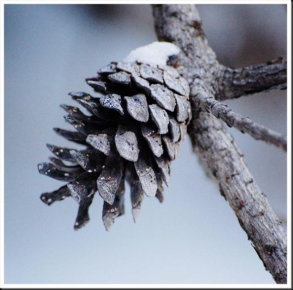 pine conesq