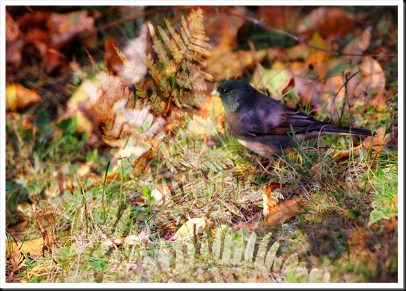 JUNCO Autumn Fern