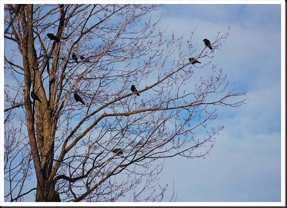 crows tree
