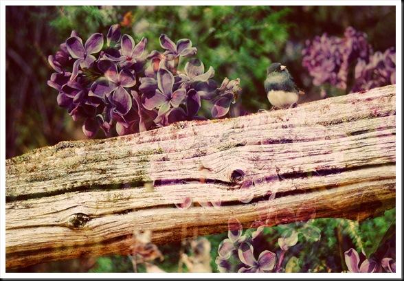 JUNCO Lilac