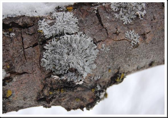 Lichen Snow