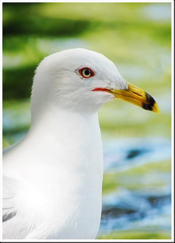 Seagull F