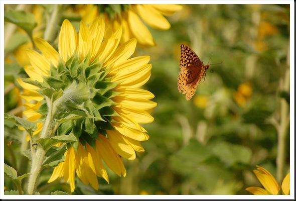 SF Butterfly Flyaway