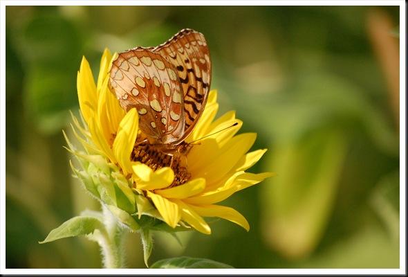 SF Butterfly 2