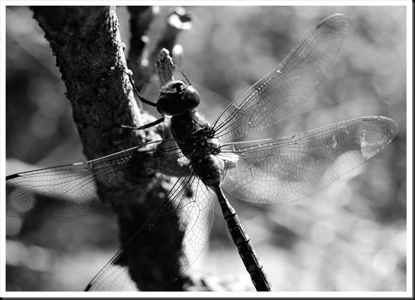 BW Dragonfly