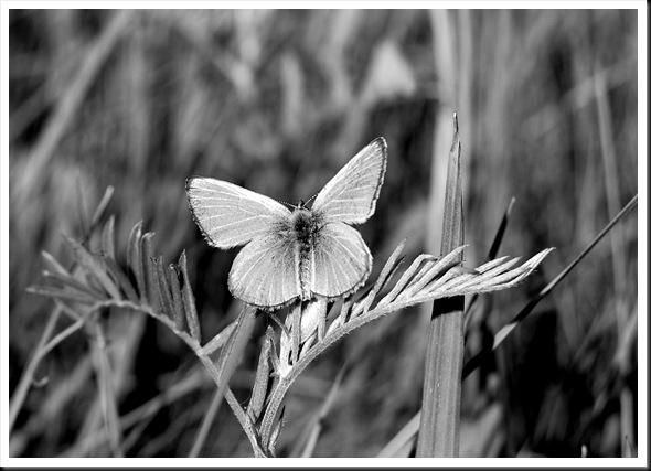BW Butterfly Silvery Blue