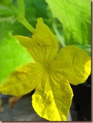 cukeflower2