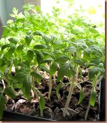 tomatoeseedlings2