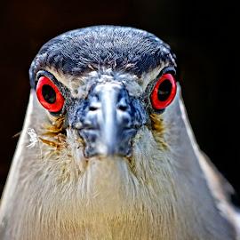 Serious eye contact with a night heron by Sandy Scott - Animals Birds ( fishing birds, black-crowned night heron, heron portrait, heron eyes, heron, night heron,  )
