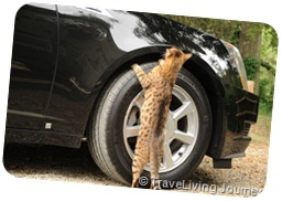 A local cat is checking the new car