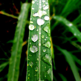 LEAVES AT RAIN by Rian Anggara - Nature Up Close Leaves & Grasses ( america, details, indonesia, weather, amsterdam, leaves, photography, photoshop )