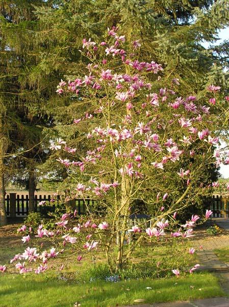 magnolie umpflanzen mein sch ner garten forum. Black Bedroom Furniture Sets. Home Design Ideas
