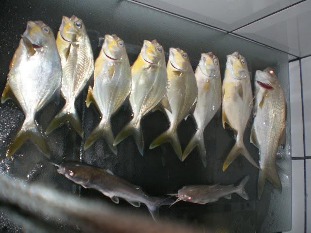Pesca de Praia  - Massaguaçu - Caragua - 27/03/10 PC050209