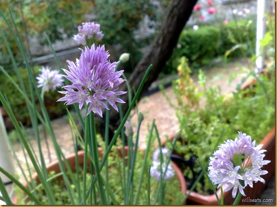 chives-23052009016