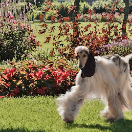 Afghan Hound by Esther Lane - Animals - Dogs Playing ( afghan hound, yard, hound, flowers, dog,  )