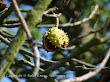 Kasztanowiec zwyczajny (Aesculus hippocastanum)