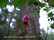 Trzmielina brodawkowata (Euonymus verrucosus)