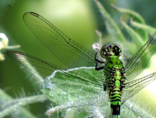 http://lh4.ggpht.com/_Q9YG2jriomk/TC5F2NU5IhI/AAAAAAABIa0/WH2O3gh2dIk/s512/dragonfly.jpg