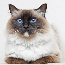 Cool by Mia Ikonen - Animals - Cats Portraits ( ragdoll, cool, beautiful, finland, at ease )