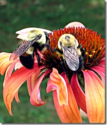 BeesOnConeflower