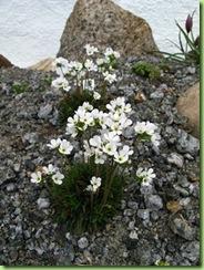 Androsace carnea ssp brigantiaca