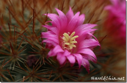 cactusflower001