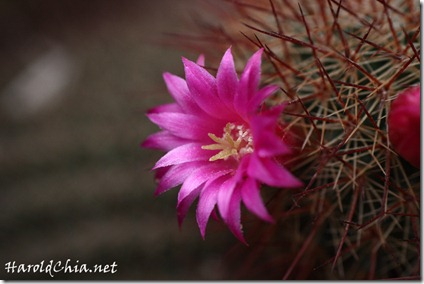 cactusflower003