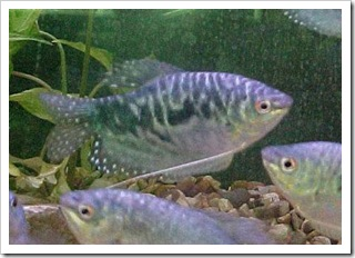 ikan sepat Trichogaster trichopterus 2