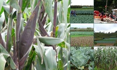 Ver cultivos en  panajachel
