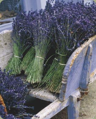 gunter-rossenbach-lavender-harvest