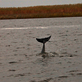 Dolphin Tail by Jim Powell - Animals Other Mammals ( suwannee river, dolphin tail, gulf of mexico )