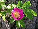 Prickly Rose (Rosa acicularis)