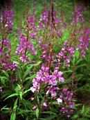 Fireweed (Epilobium angustifolia)