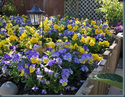 Pansy Bed 2