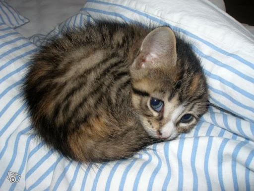 cute kitten curled up cat pic