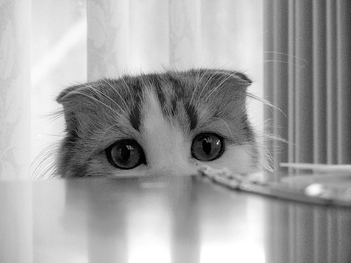 cute scottish fold kitten looking cat pic