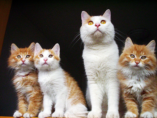 cute kittens orange white cat pic