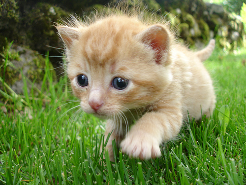 cute ginger kitten prowling on grass cat pic