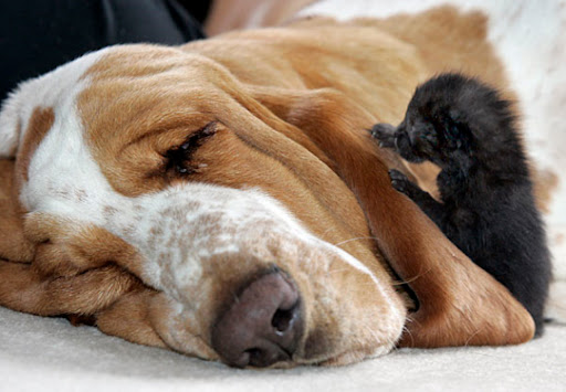 cute basset hound dog nurses kittens pic
